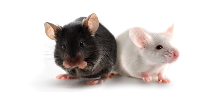 Transgenic mouse model
