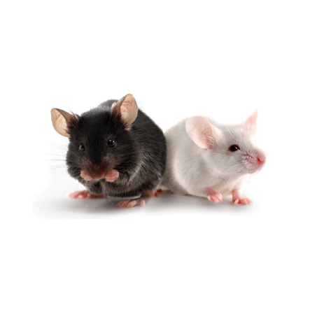 transgenic mouse models